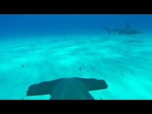 Que fait un requin marteau de ses journées ? Gopro Cam en 4K – YouTube