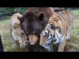 Un lion, un ours et un tigre se font des mamours – YouTube